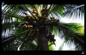 Coconut Tree by impeccablez
