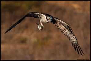 Osprey and Catch by AirshowDave
