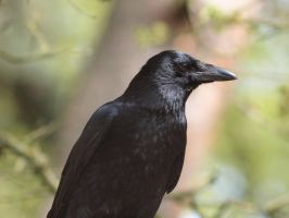 Corvus Corax or Common Raven 2 by pagan-live-style