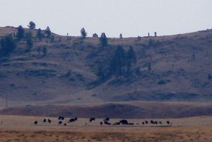 Buffalo in the Black Hills South Dakota by Riogirl9909stock