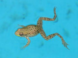 froggy by Exor-stock