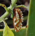 Caterpillar Cocoon by deathmix