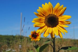 Sunflower 6 by LucieG-Stock