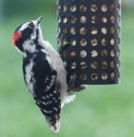 Downy Woodpecker (male) by AppleBlossomGirl