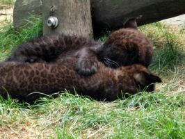 2014 - Black leopard cubs 2 by Lena-Panthera