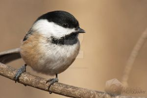 Black Capped Chickadee by shaguar0508