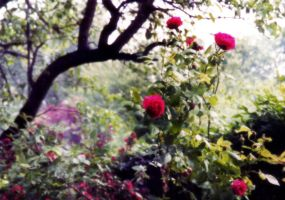 Wild Roses by touchstone