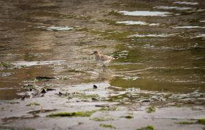 Semipalmated Sandpiper by Spirit-whales