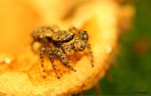 jumping spider 2 by Prototyps