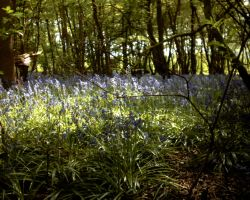 bluebells at the trails by strutty