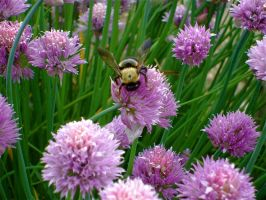 Chives and Carpenter Bees 4 by NetherStray