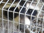 Trapped Like a Raccoon in a Cage 2c by Windthin