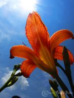 Day Lily by Nomalimae