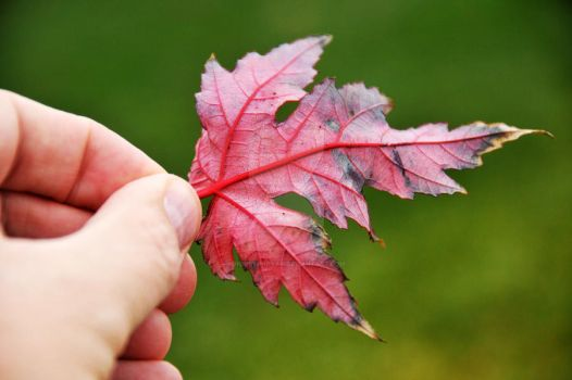 Red Veined Leaf, Late Fall 2012 by houstonryan