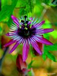 Passiflora by enricotasca