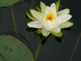 Water Lily by icemask