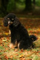Sweet little poodle by SaNNaS