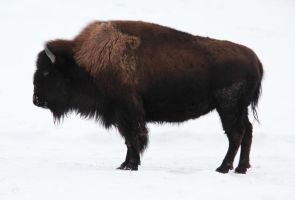 American Bison by Joe-Lynn-Design