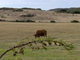 Cow by paolaquasar