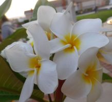 My Favorite Flower...Plumeria by ShipperTrish