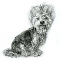 Yorkshire Terrier by Ring-night