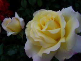 Yellow and Pink Rose by theNanna