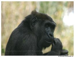 Gorilla by TVD-Photography
