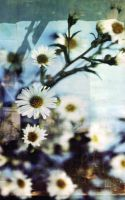 Daisies 02 by RocketStock