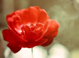 Red rose... by addy-ack