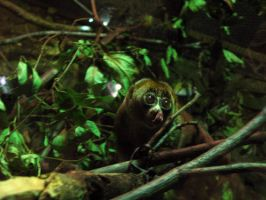 Slow Loris by queenpasiphae