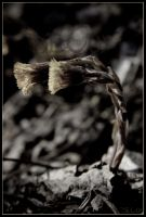 Coltsfoot by decoy