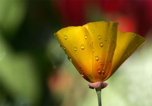 Poppy Wetness by TruemarkPhotography