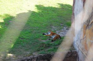Napping Tiger by katiezstock