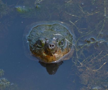 Common Snapping Turtle by Matthew-Beziat