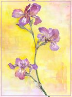 Iris - Iris germanica 2 by zersen