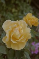 Melancoly as a Light Yellow rose and her contrast by Luvyduvduvisi1