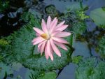 Waterlily by SniperOfSiberia