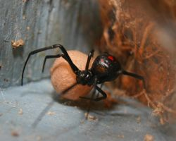 Redback: A Protective Mother by nokturnal1