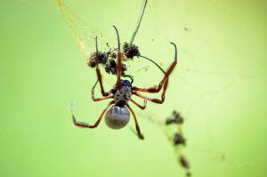 Golden Orb Spider by A-Sped-Kid