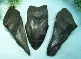 Carcharodon megalodon Teeth Fragments III. by Namyr