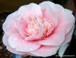 Camellia for you by babsartcreations
