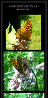 Aphrodite Fritillary by Forbidding