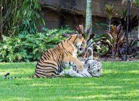 Tigers at Play by ARC-Photographic