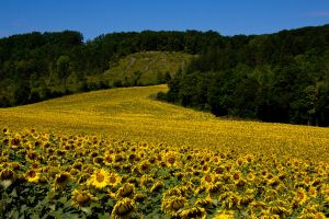 Field of sunflowers by DeviantTeddine