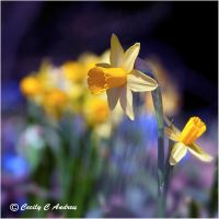 Daffodils' Time to Shine by CecilyAndreuArtwork