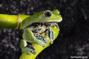 Norhayati's Gliding Frog in rain by AngiWallace