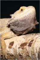 2012-45 Bearded dragon by W0LLE