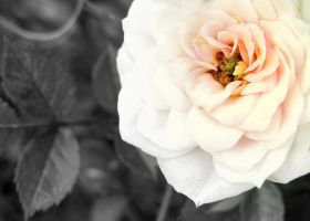 just a flower... by whoslepe