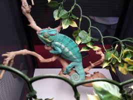 Nosy Be Panther Chameleon by koolkidmike28