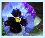 Waterdrop Pansy by hawthorne-cat
